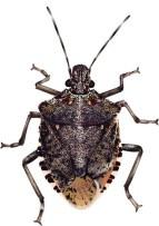 Dont Let Stink Bugs Make You an April Fool! - Hatboro-Horsham, PA Patch