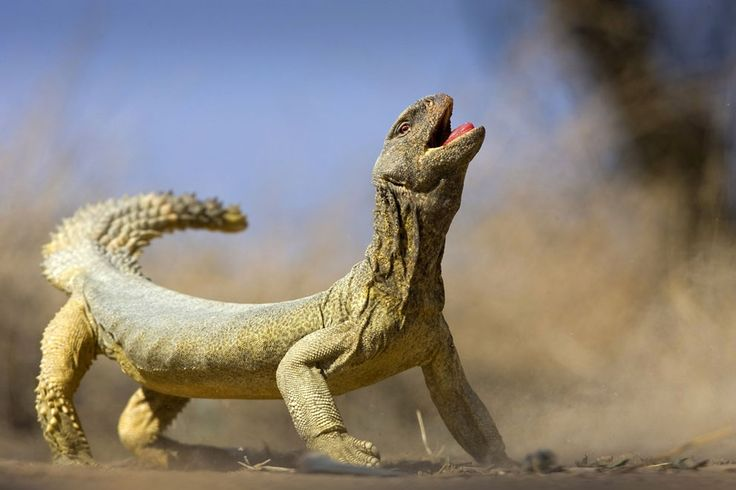 A big lizard in Kuwait. (© Khaleel Haidar/National Geographic Traveler Photo Contest)