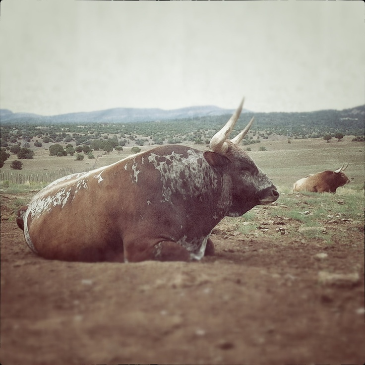 Big B: 8x8 matted photograph. longhorn bull resting in a landscape. southwestern. peaceful. ranch. By: Kerry Estey Keith