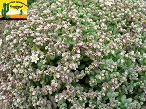 Dasyphyllum Sedum cobertura del suelo sedum