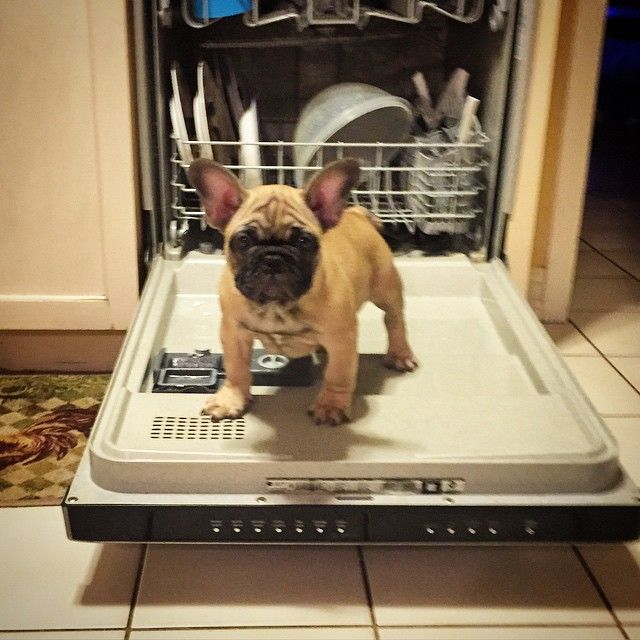 """Why can't I just ride in the 'Rinse' cycle?""  adventurous French Bulldog Puppy."