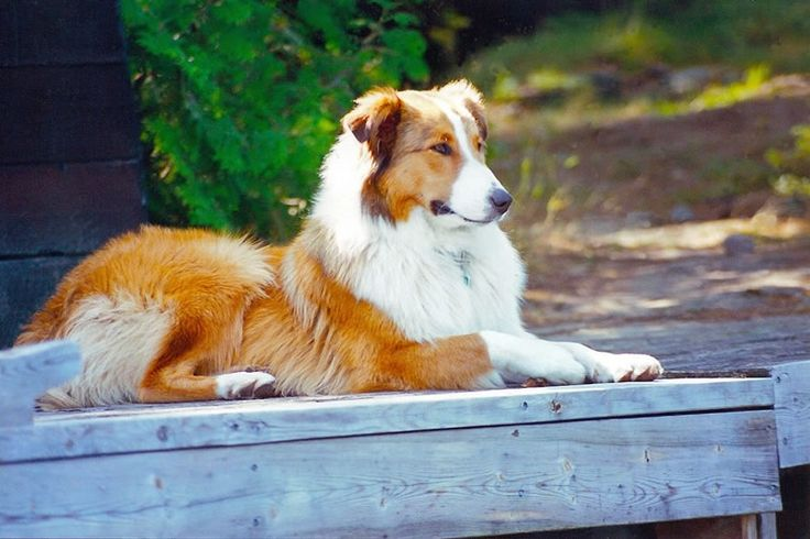 Angus - Old Fashioned Farm Collie