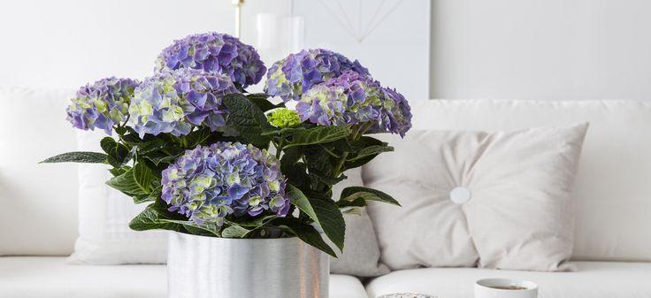 Populær hortensia i vårlig farge