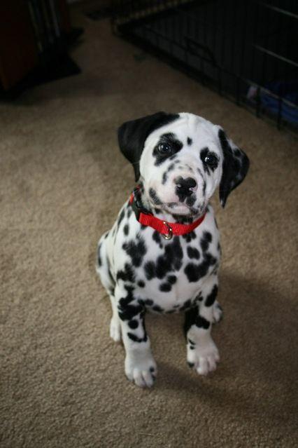 dalmatian puppy.. Adorable but Jon doesn't want a Dalmatian ): ):