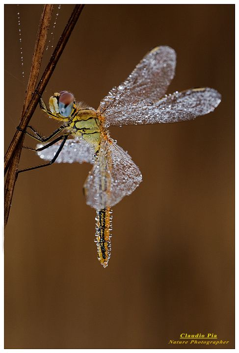 Dragon fly covered in dew ~ Looks like a fairy!