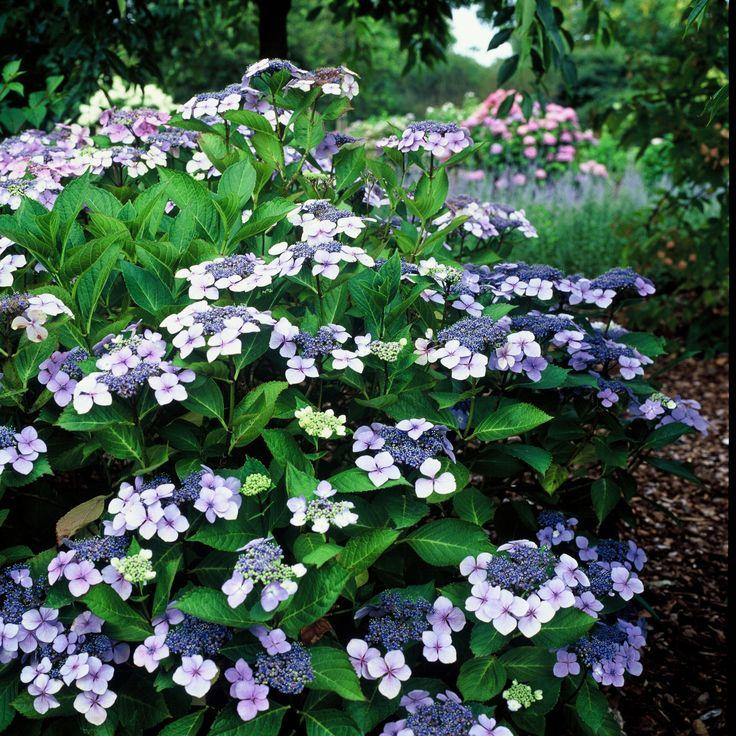 Hydrangea serrata 'Bluebird' - Maréchal