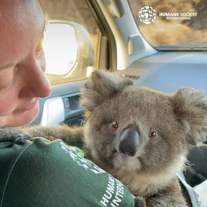 Humane Society International On Instagram Australia Fires Update Our Animal Rescue Team Is Continuing To Save Survivors And Provide Relief For Animals En 2020 Koala