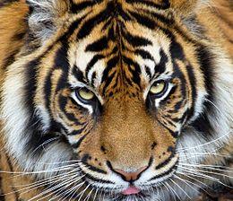 Sumatran Tiger 3 (7110769819).jpg