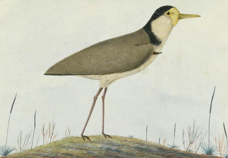The Masked Plover [masked lapwing]