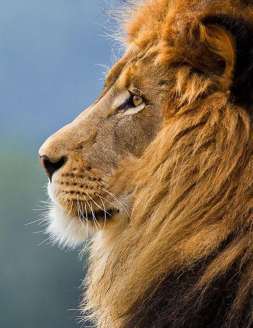 Lion profile | 3 lions academy | Pinterest | Search, Lion ...