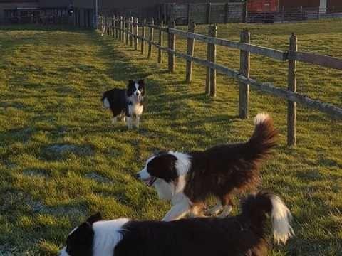 Border Collie Puppies Collie Puppies Border Collie Puppies