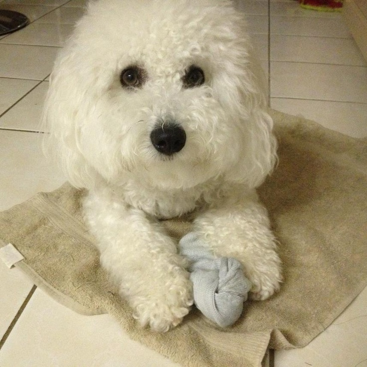 This is Tiana's dog Teddy @TeddyDoggy and he has his own tumblr blog!
