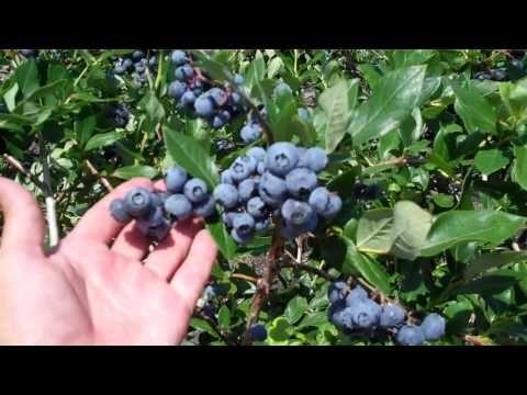 Dimeo Fruit Farms Berry Plant Nursery Is A 100 Year Old Family Blueberry Farm