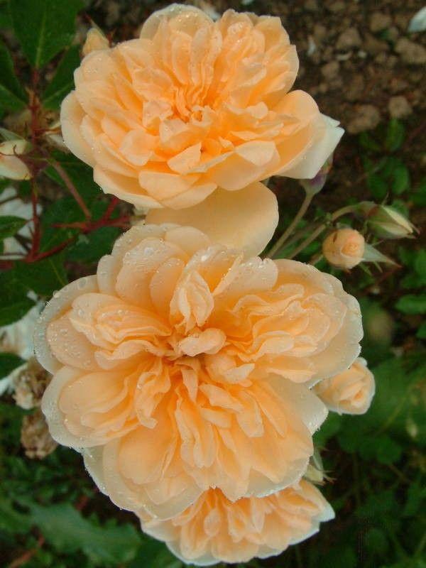 Alister Stella Gray - CL / Ram - rosas velhas do jardim - Rose Catálogo - Tasman Bay Roses - Comprar Online Rosas na Nova Zelândia