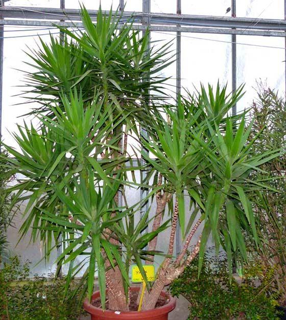 Yucca coltivazione