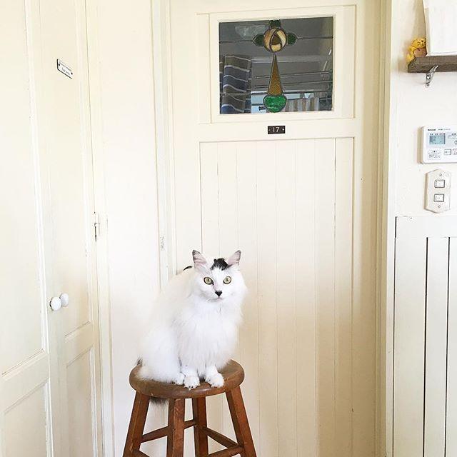 おはようございます。 #猫 #ねこ #ネコ #cat #にゃんこ #ニャンコ #長毛猫 #白猫 #白黒猫 #家族 ・ ・ 今日は出勤日。 雨の音であんまり寝た気がしてませんが、 頑張ってきます〜(⌍་д་⌌) ・ 天太の後ろに見えるドアは造作です。 こちら側は #キッチン、あっちは洗面所とお風呂 なのですが、 元々ここは扉がなくて、建てる時は動線を考えて 扉は要らないかな、と思い 突っ張り棒にカーテンで仕切ってました。 でも冬場、寒くて ´д` ; やはりドアが必要…と、 #アンティーク の #ステンドグラス を使って建具屋さんに 作ってもらい後付けしました。 メーカーのドアだと味気ないけど、自分好みの ドアを造ってもらえて今は大満足。 このドアをバックにすると、天太もよく映える…笑 ・ ・ #おうち #インテリア #古い #アンティークステンドグラス #シンプルインテリア #白 #暮らし #日々 #日々の記録kumi_02202016/02/13 06:46:23