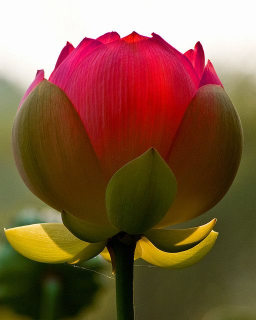 Lotus, photo by Charles Sloger