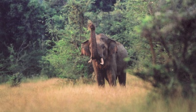 A wild bull elephant salutes the Sri Lanka Wildlife Conservation Society team on the day they celebrate the 10th anniversary of their 2nd electric fence erected under the Saving Elephants by Helping People Project.
