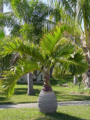 Buy Hyophorbe Lagenicaulis Bottle Palm Plants, For Sale Online, How to grow & care for.