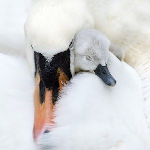 A Mother's Love by Jacky ParkerMothers, Jackie Parker, Nature, Baby Ducks, Beautiful, Swan, Birds, Animal, Feathers Friends