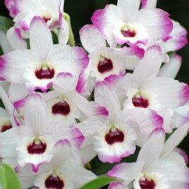 Fiche de culture de l'orchidée DENDROBIUM NOBILE