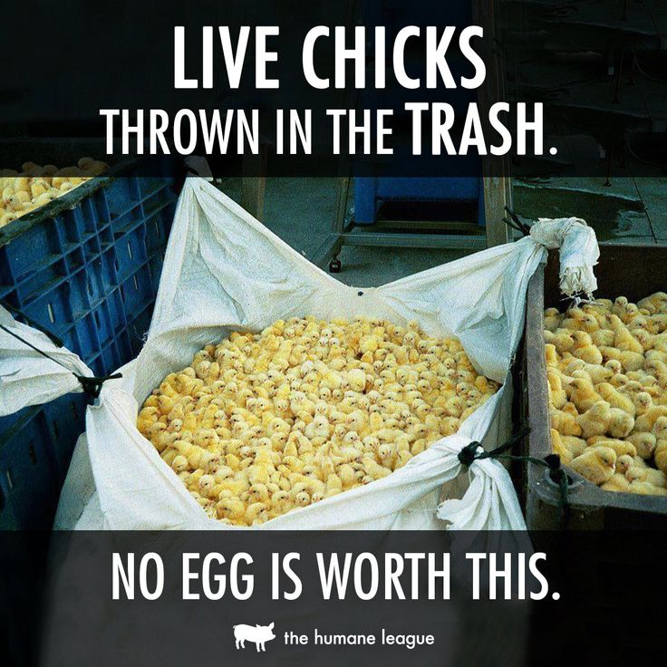 Shocking: live male chicks are routinely discarded in trash bins b/c they're deemed useless by the Egg Industry.