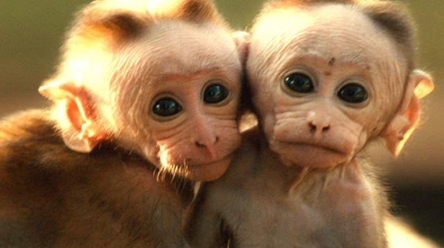 The family in Monkey Kingdom may be more like your own family than you think