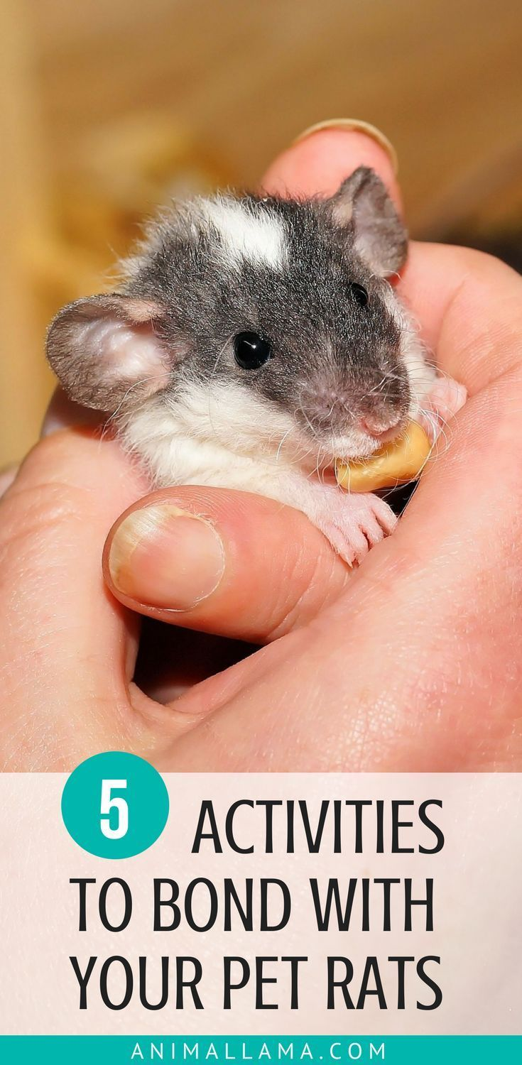 How to Bond With Your Rats: 5 Bonding Activities You Can Do Now – OMG ^^
