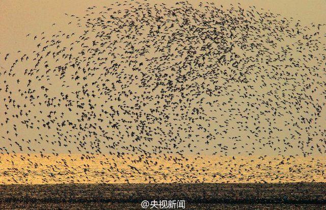 盘锦湿地保护区 鸟群密集如浪-凤凰新闻