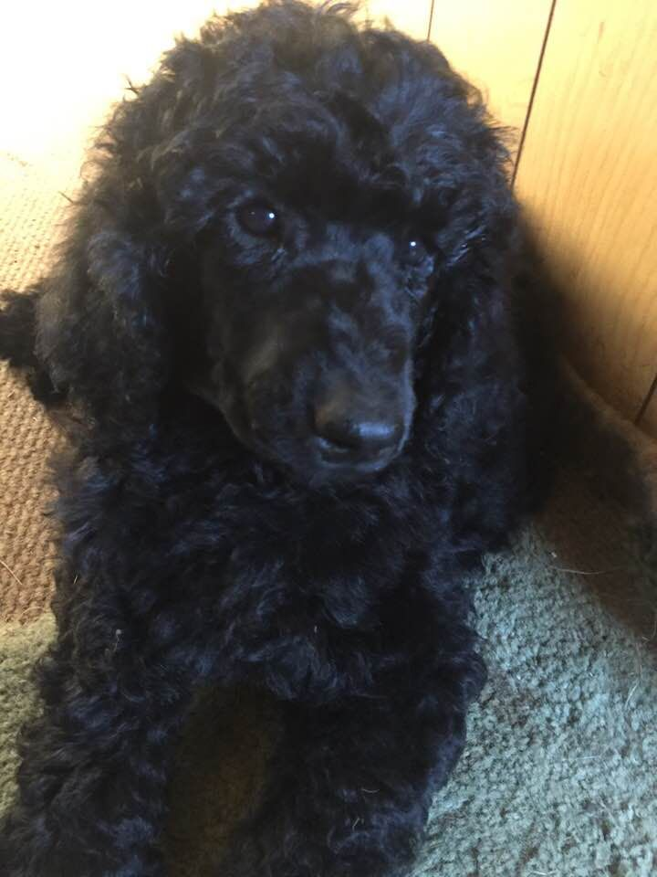 Poodle Puppy In Clearwater Michigan For Sale Poodlepuppy Poodle