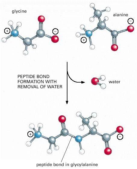 Figure 3-1. A peptide bond.