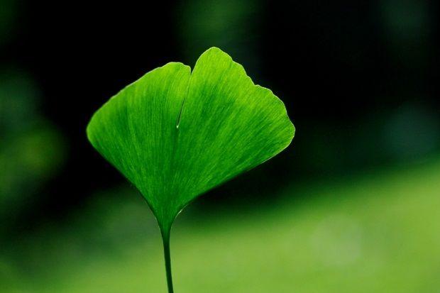 Unutkanlığı Unutun!  Ginkgo biloba bitkisi unutkanlığı tedavi ediyor.    Günümüzde unutkanlık, dalgınlık, dikkat eksikliği gibi şikayetler oldukça fazla. Ginkgo biloba ağacı yaprağından elde edilen özün, belleği geliştirici nitelikte olduğu yapılan araştırmalarda netlik kazanmıştır.