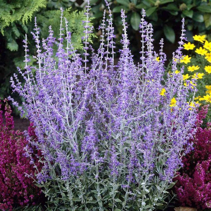 Perovskia Little Spire - Longfield Gardens