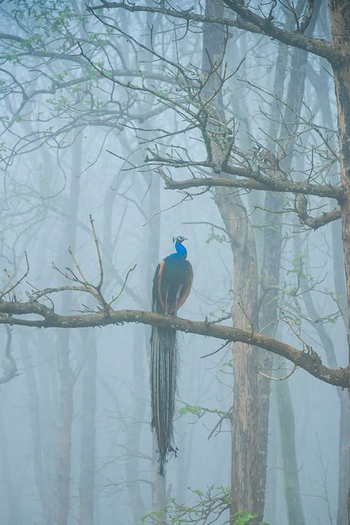 Peacock in the fog (I love peacocks)