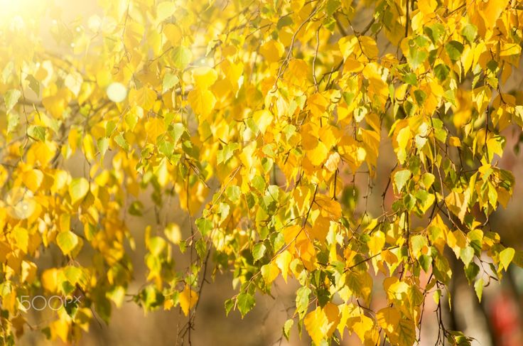 "Autumn Golden Leaves - Autumn Golden Leaves in Sunlight Nature Background. From ""Autumn"" photo and video collection."