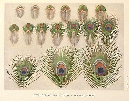 Henrik Grönvold, Evolution of the eyes on a Peacocks train,...