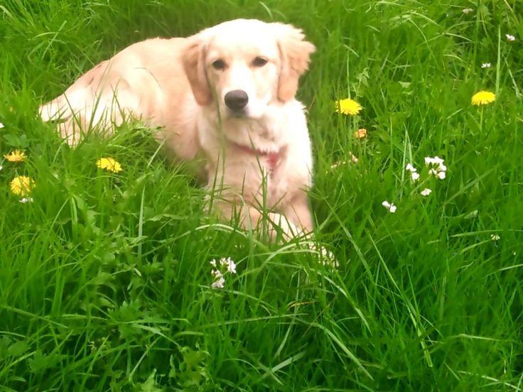 Golden Retriever Amy Wenn alles zuviel wird: Einfach mal Pause machen! #Hundename: Amy / Rasse: #Golden Retriever      Mehr Fotos: https://magazin.dogs-2-love.com/foto/golden-retriever-amy-2/ Foto, Hund