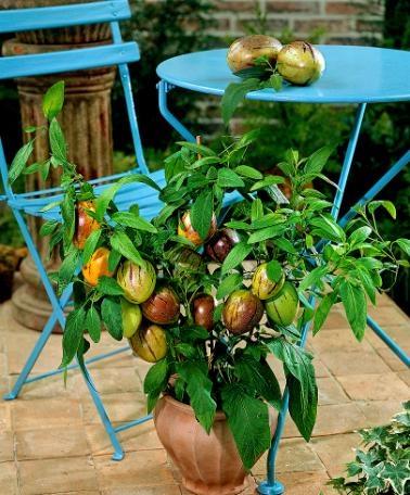healthy fruit veggie smoothie bonsai fruit tree