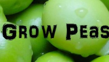 how to grow peas in brisbane