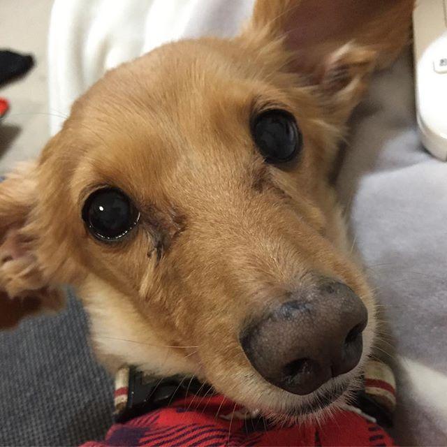 リンちゃん、11歳になりました。リンちゃんが11歳かー。早いね。リンちゃんを飼う時に結婚をしようということになったんだよね。ずっとわがまま娘のお姫様犬。大好きよ。リンちゃん。  #お誕生日おめでとう#11歳#愛犬#ミニチュアダックスフンド#犬