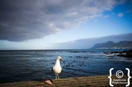 Henry the seagull waiting for a chip or two on the pier at Kalk Bay, Cape Town