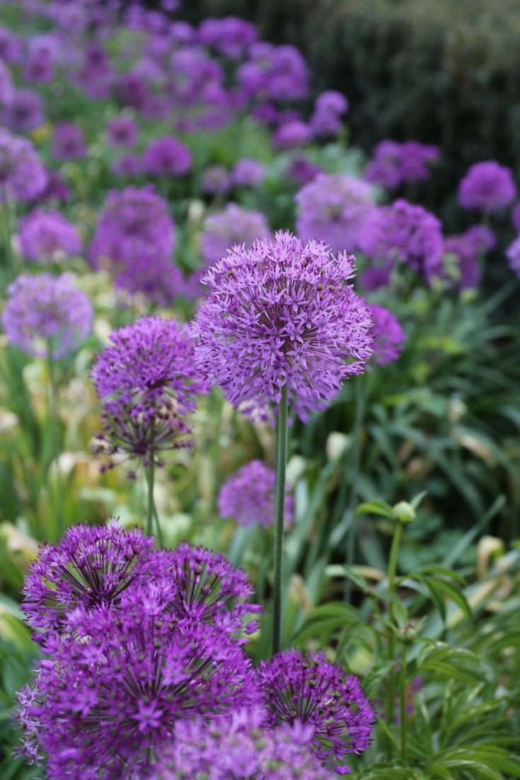 There S No Better Allium For Bridging The Season From Spring Bulbs To Early Summer Perennials Purple Sensation S Per Flowers Longfield Gardens Amazing Flowers