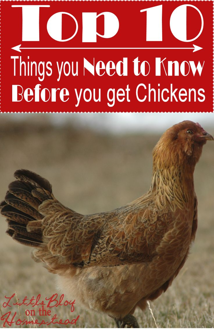 Top 10 Need To Know Chickens