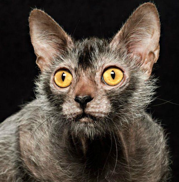 Nova Raça de Gatos: O Gato Lykoi (Gato Lobo)