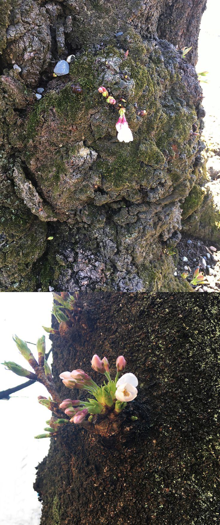 【編集者M】昨日靖国神社で編集長が見つけた小さな桜のつぶ子ちゃん(仮)。今日はまだ開花していませんが、少しだけ花が咲き始めているような気がします。その代わり、外の靖国通りにいるつぶ子ちゃん2号(仮)はきれいな花を咲かせていました🌸つぶ子ちゃん(仮)も負けずにがんばれ!