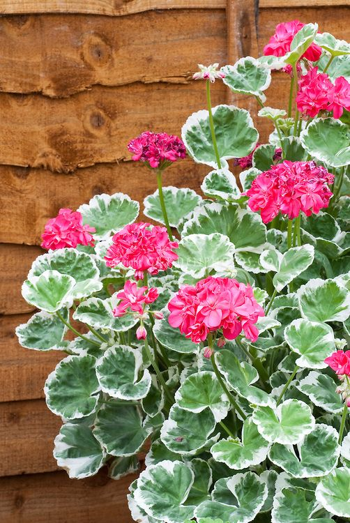 Pelargonium 39 catalina 39 variegated geraniums flora geraniums sentimental favorite - How to care for ivy geranium ...