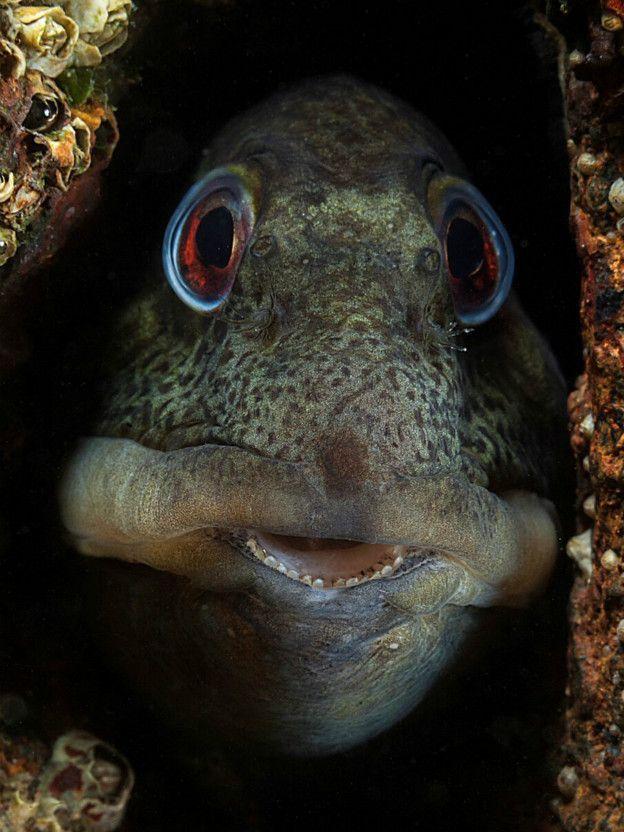 Un pequeño Blennioidei se asoma por una hendidura de un arrecife cerca de la localidad de Gwynedd, en el oeste de Reino Unido.