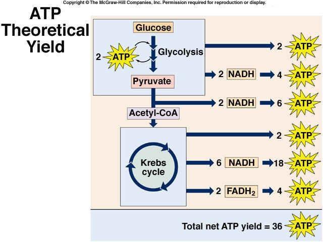 ATP Yield - Glycolysis + Kreb Cycle
