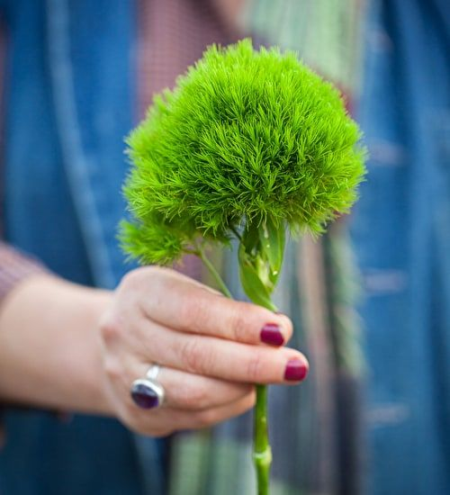 Buy Dianthus barbatus 'Green Wicky' - this is a great evergreen pot filler and a tip-top cut flower. Pick yours today.
