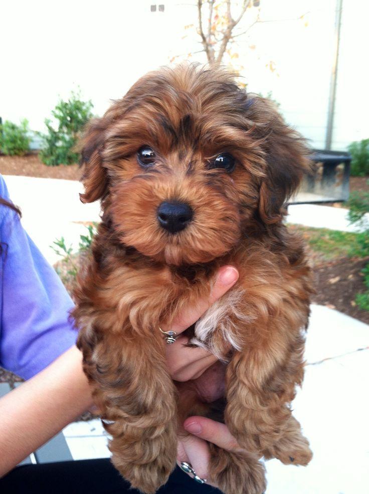 yorkiepoo dogs cute this looks like Bella Beliebte